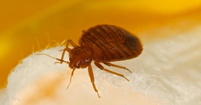 a bed bug close up