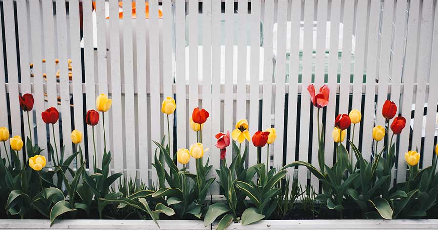 Tulips growing along white slatted fence