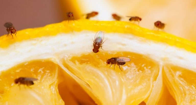 Fruit flies laying on a piece of orange.